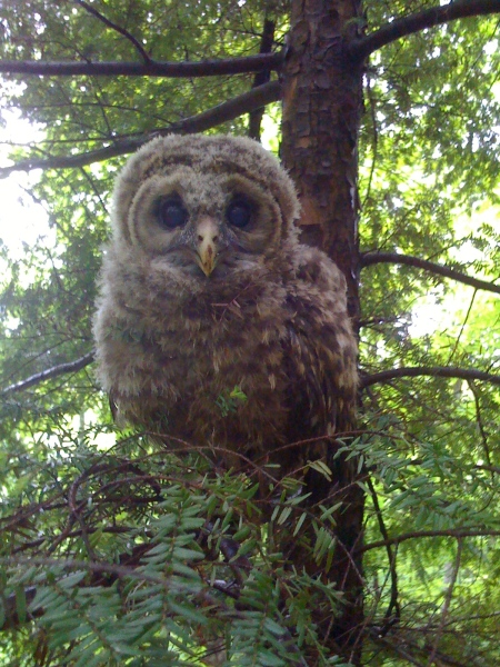 3-4 week old barred owl in High Falls, NY